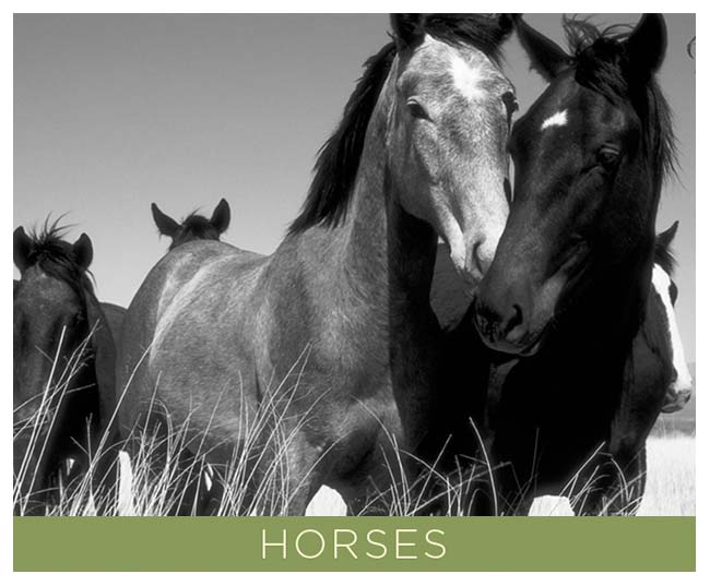Horses.  A Going Home Book by Tony King.  7 x 5 inch soft cover that contains 48 pages of black and white photographs by Tony King.  Retail $7.50 each.